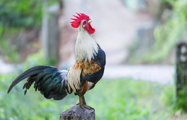 Why roosters don't go deaf from their crowing | MNN - Mother ...