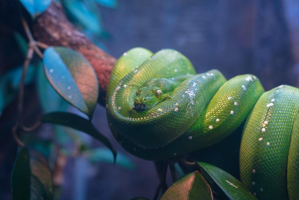 pit viper coiled on tree branch photo – Free Animal Image on Unsplash