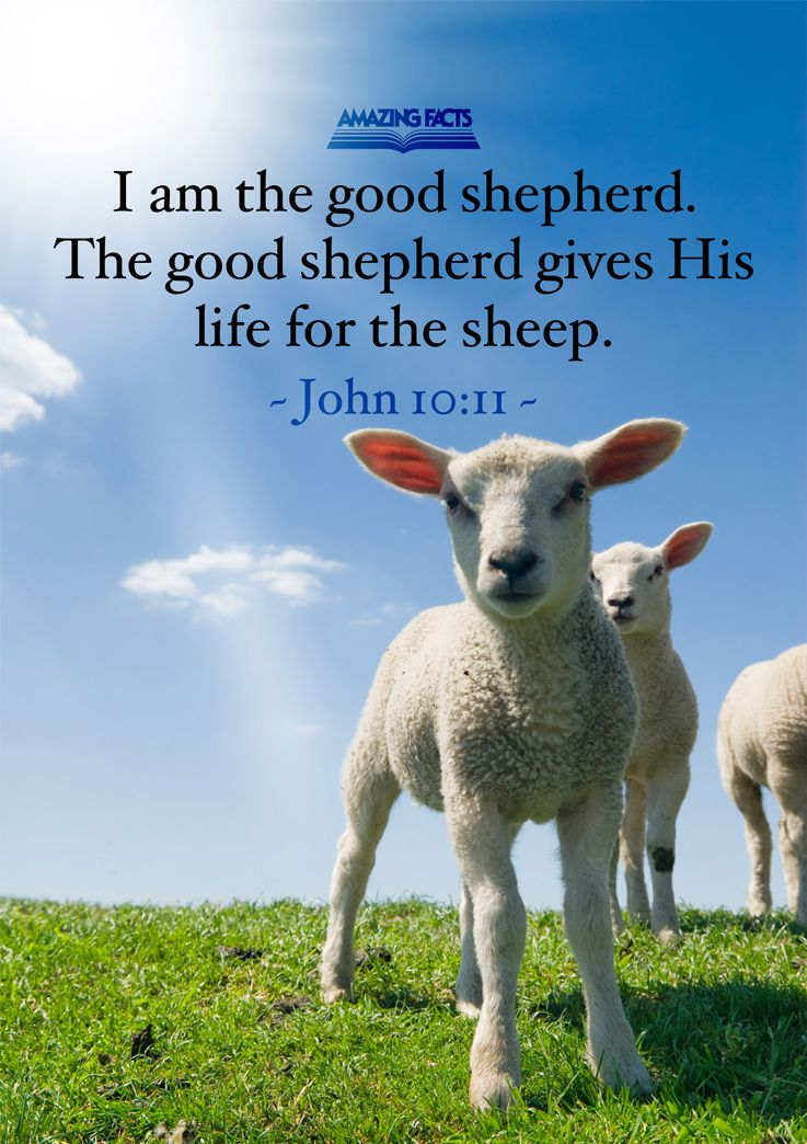 I am the good shepherd: the good shepherd giveth his life for the sheep.  John 10:11 | Scripture pictures, Scripture, Fun facts